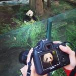 Les pandas du zoo de San Diego