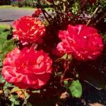 Rose test Garden sur les hauteurs de Portland