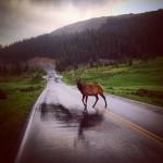 Wapiti. Pas trop dur à trouver à Rocky Mountain NP