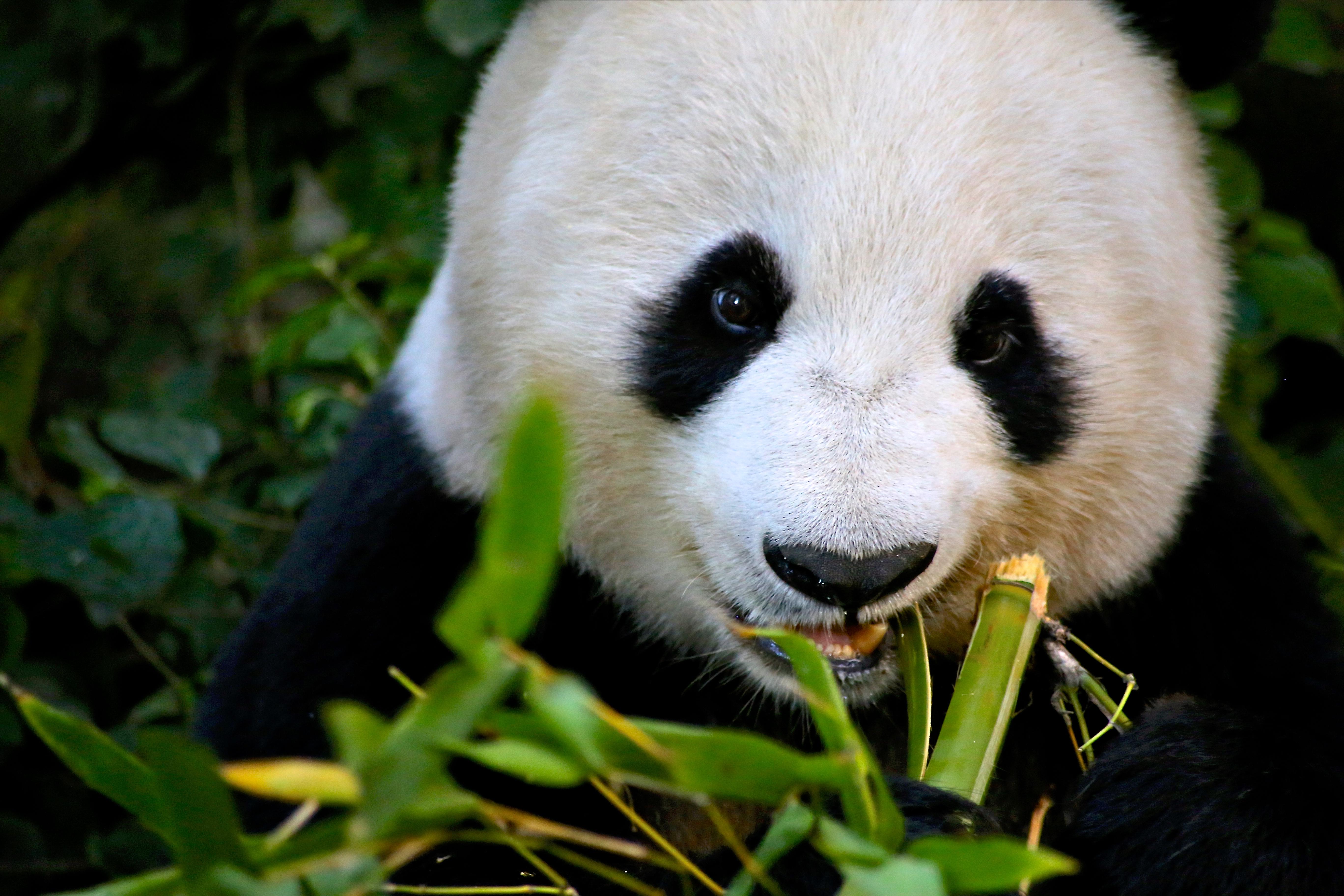 o voir des pandas aux etats unis lost in the usa. Black Bedroom Furniture Sets. Home Design Ideas