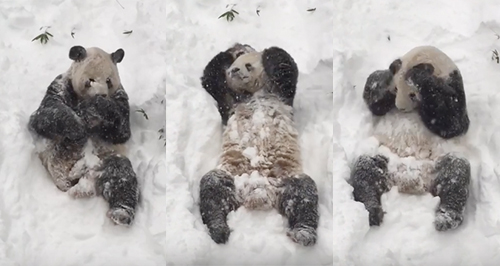 panda-playing-in-the-snow--1453715950