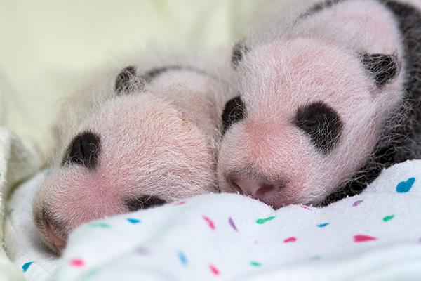 panda_cubs2013_130807_cub_a_b_incubator_ZA_3285_600