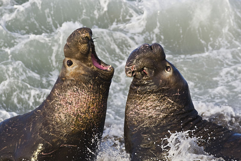 800px-Northern_Elephant_Seal,_San_Simeon2